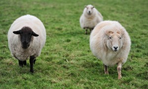 the internet of sheeps in Wales