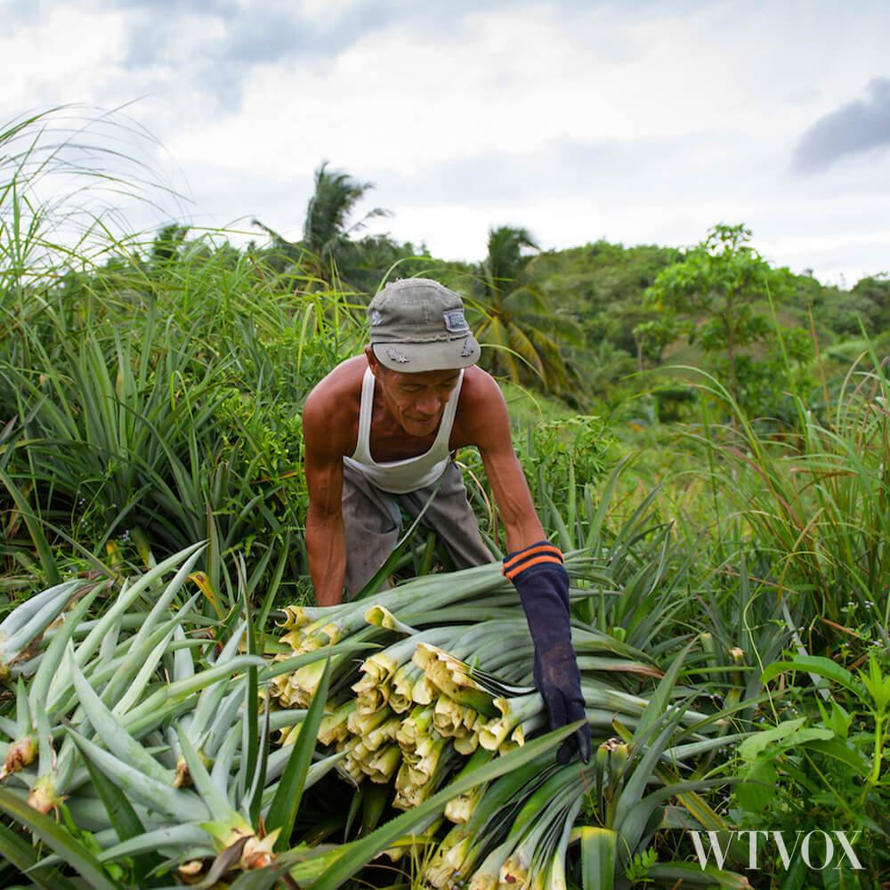 Harvesting pineapple leaves to produce Pinatex vegan leather